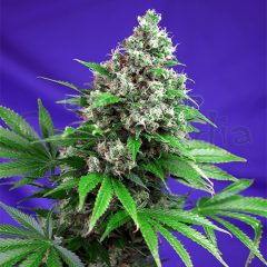 Killer Kush F1 Fast version 7