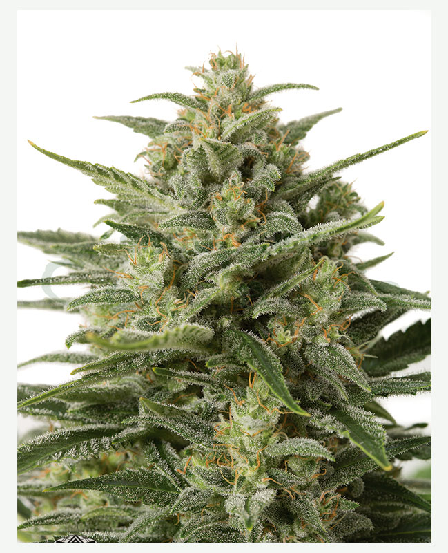 white widow xxl