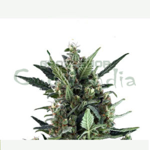 blue-cheese-automatic (1)