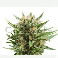 sweet-skunk-automatic