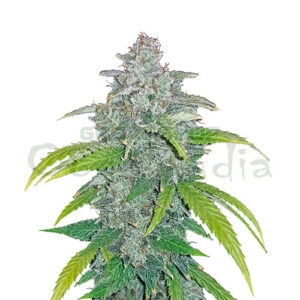 Blue Dream´Matic Auto 20