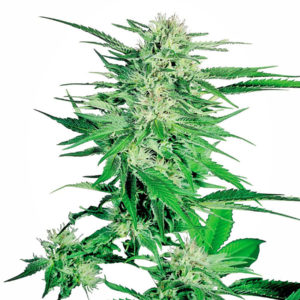 Big Bud Regular 10 semillas 27