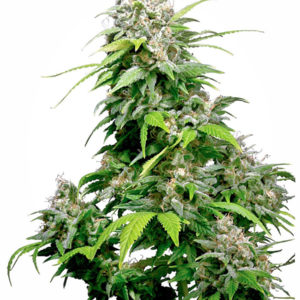 California Indica Regular 10 seeds 15