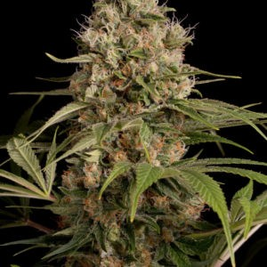 semilla-marihuana-shark-shock-cbd-cultivo-indoor-outdoor