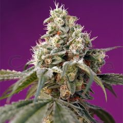 grow-shop-cogolandia-bruce-banner-auto--sweet-seeds-2