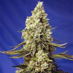 grow-shop-cogolandia-runtz-xl-auto - sweet-seed-1