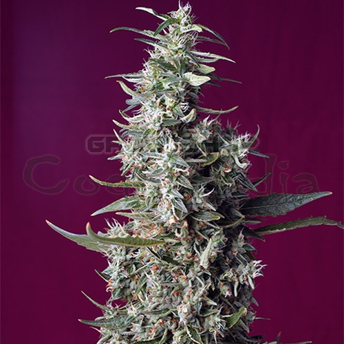 The new feminized Sweet Cherry Pie seed by Sweet Seeds has a relaxing and euphoric effect at the same time surprising lovers of hybrid genetics (indica-sativa). The aroma of this variety is sweet and fruity reminiscent of the smell of freshly baked cakes with berries. Delicious!