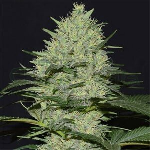 Bulk Amnesia Haze marijuana seed is one of the most popular strains among consumers and growers of the plant in the Netherlands. It has a high percentage of THC reaching up to 22,3%. With its long-lasting and powerful effect you will be able to laugh non-stop and enjoy glorious afternoons with your friends. Try it!