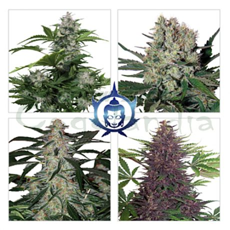 buddha-assorted-auto (1)