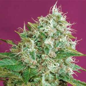 The Green Poison bulk feminized marijuana seed variety stands out for its very fast and vigorous growth, with a very fast and explosive flowering phase, it develops large buds that make this plant a super producer of flowers in a few days.