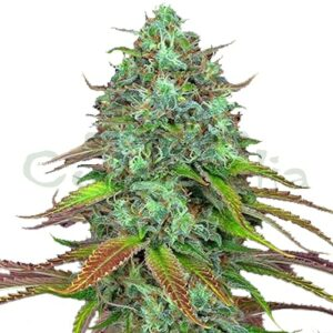 LSD Auto bulk marijuana seed is a very powerful autoflowering genetics characterized by its short flowering period (between 65 and 70 days). This variety will provide you with enviable harvests with flowers full of an explosion of trichomes, resulting in well-compacted and tight buds.