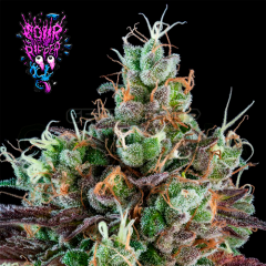 grow-shop-cogolandia-sour-ripper-de-ripper-seeds-a-hybrid-for-lovers-of-premium-quality-extractions-with-a-tasty-robust-flavor-and- a-more-than-plentiful-harvest-if-you-like-the-diesel-sour-ripper-will-make-you-lose-your-head