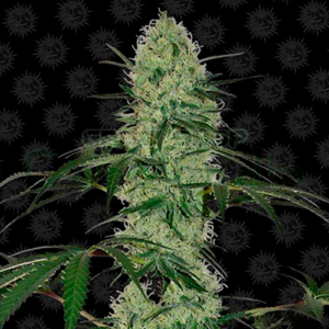Tangerine Dream Auto, Your usual Tangerine in an autoflowering version. A variety with a great flavor that will give you very good harvests in record time, and if that were not enough, it does not require very special care, making it ideal for beginners. The perfect strain for the impatient.